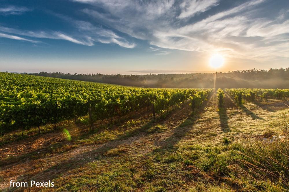 pic2-pexels-tuscany-grape-field-nature-51947